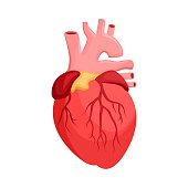 Human anatomy. Heart, internal organ.