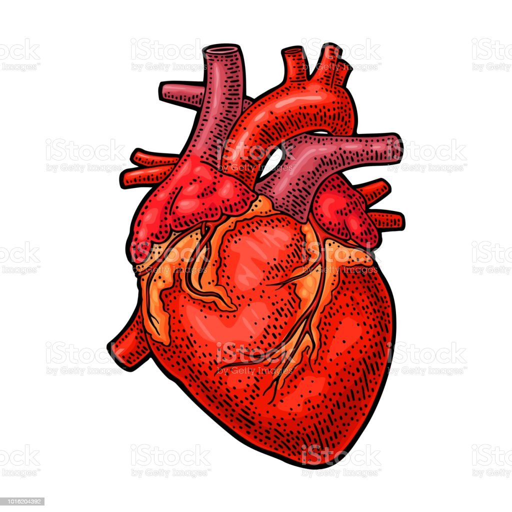 Human Anatomy Heart Vector Black Vintage Engraving Illustration ...