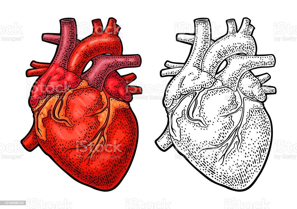 Anatomie Des Menschen Herz Farbe Vintage Gravur Vektorgrafik Stock ...