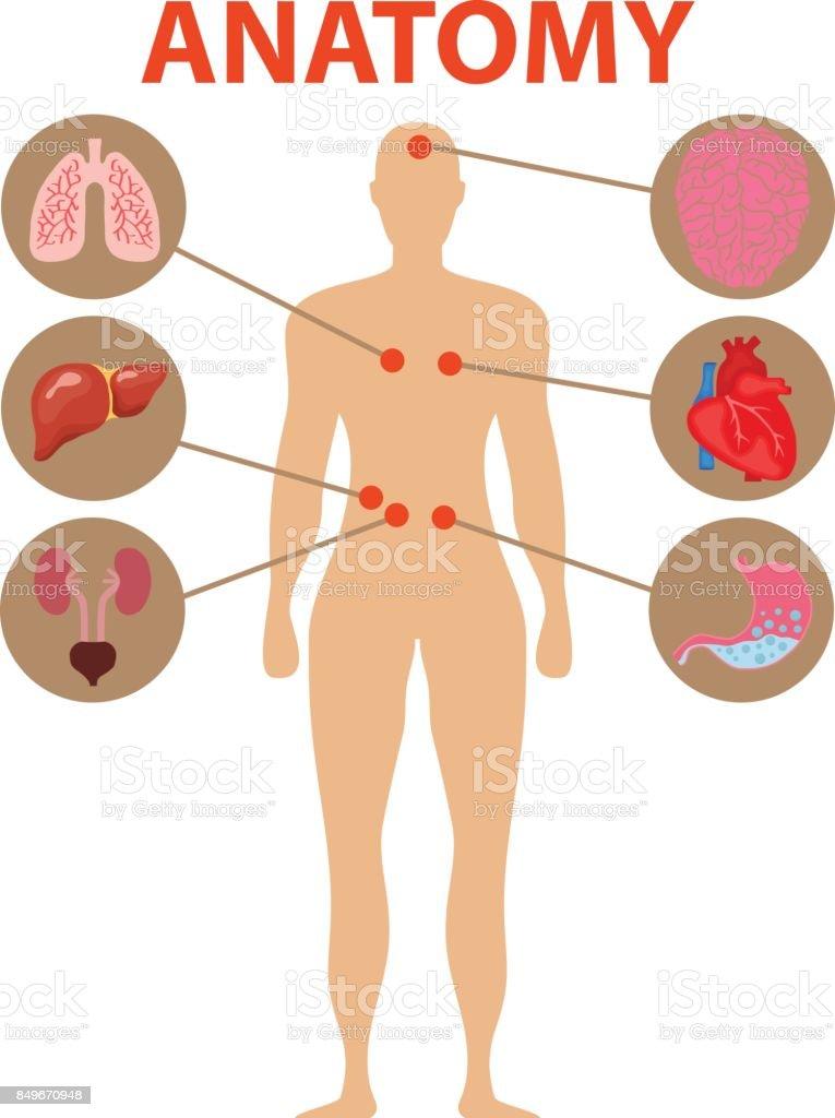 Menschliche Anatomie Menschliche Organe Gehirn Herz Magen Lunge ...