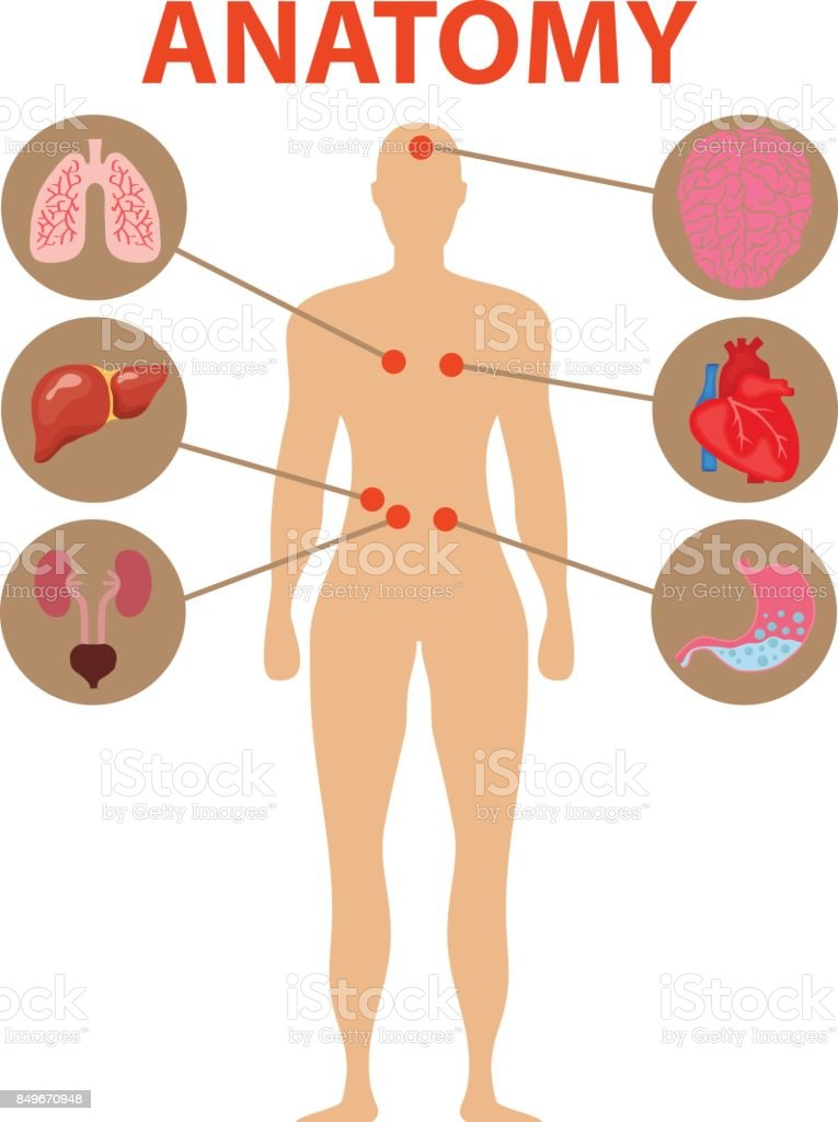 Human Anatomy Human Organs The Brain Heart Stomach Lungs Liver ...