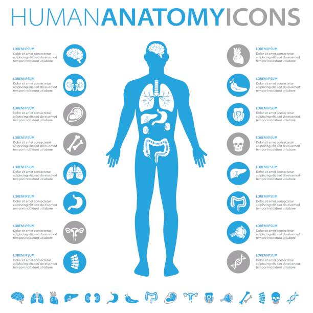 Human Anatomy Icons Medical infographics collection, charts, symbols, graphic vector elements the human body stock illustrations