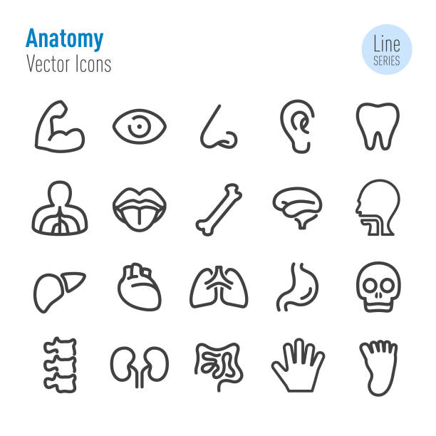 illustrazioni stock, clip art, cartoni animati e icone di tendenza di human anatomy icons - vector line series - lingua umana