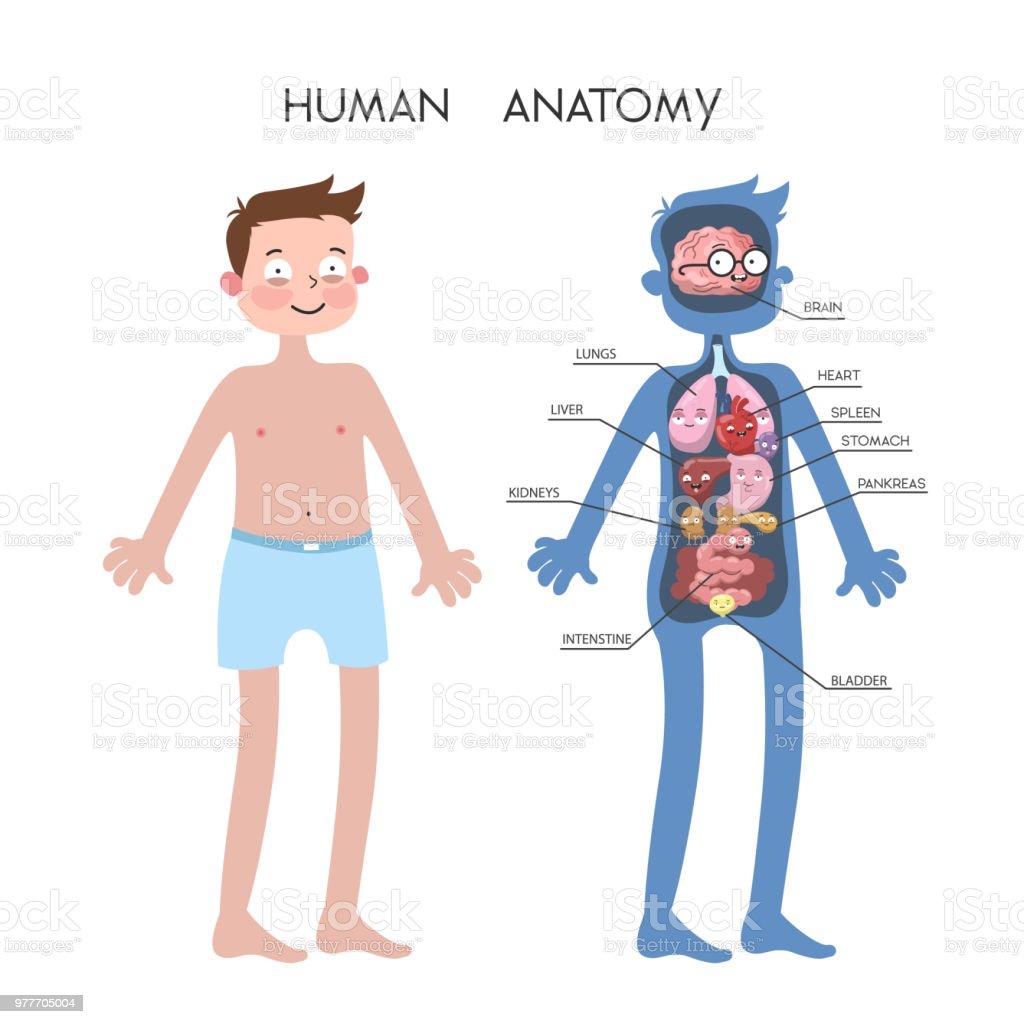 Menschliche Anatomie Abbildung Stock Vektor Art und mehr Bilder von ...