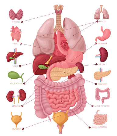Human anatomy. Infographic elements.