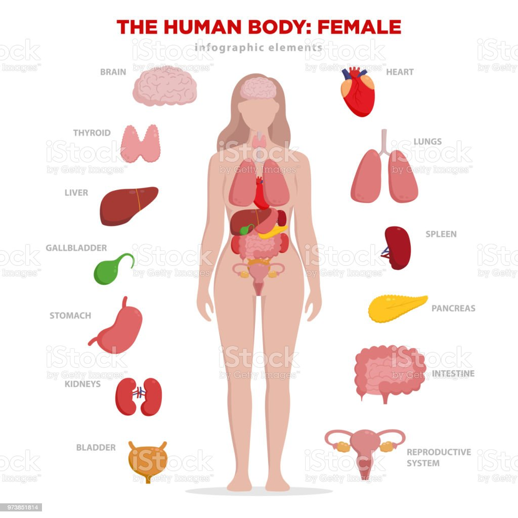 Human anatomy infographic elements with set of internal organs isolated on white background and placed in female body. Woman reproductive organs with girl silhouette and icons around. royalty-free human anatomy infographic elements with set of internal organs isolated on white background and placed in female body woman reproductive organs with girl silhouette and icons around stock illustration - download image now