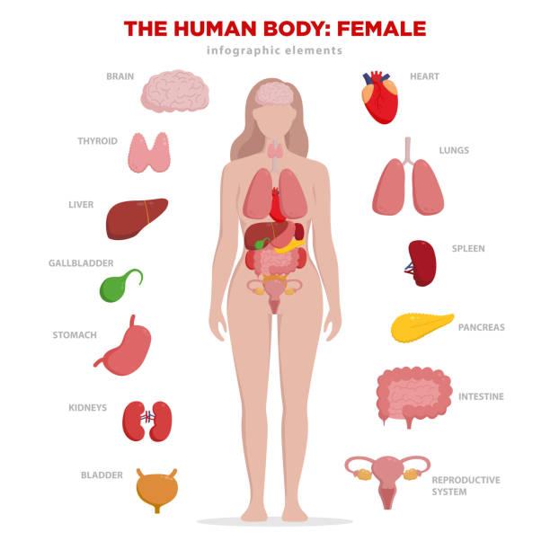 ilustraciones, imágenes clip art, dibujos animados e iconos de stock de elementos de infografía anatomía humana con el conjunto de órganos internos aislaron sobre fondo blanco y colocan en el cuerpo de la mujer. órganos reproductivos de la mujer con silueta de niña y los iconos alrededor. - órganos internos