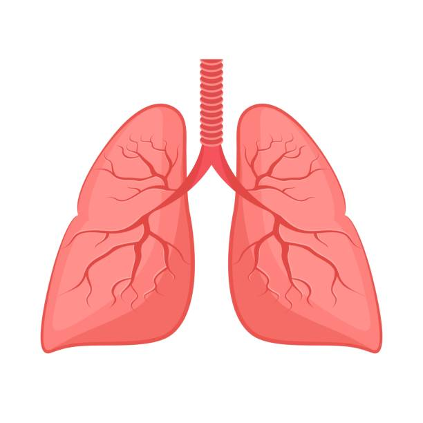Human anatomy. Lungs, internal organ. Human anatomy. Lungs, internal organ. Medicine and health. Flat style. Cartoon. lung stock illustrations