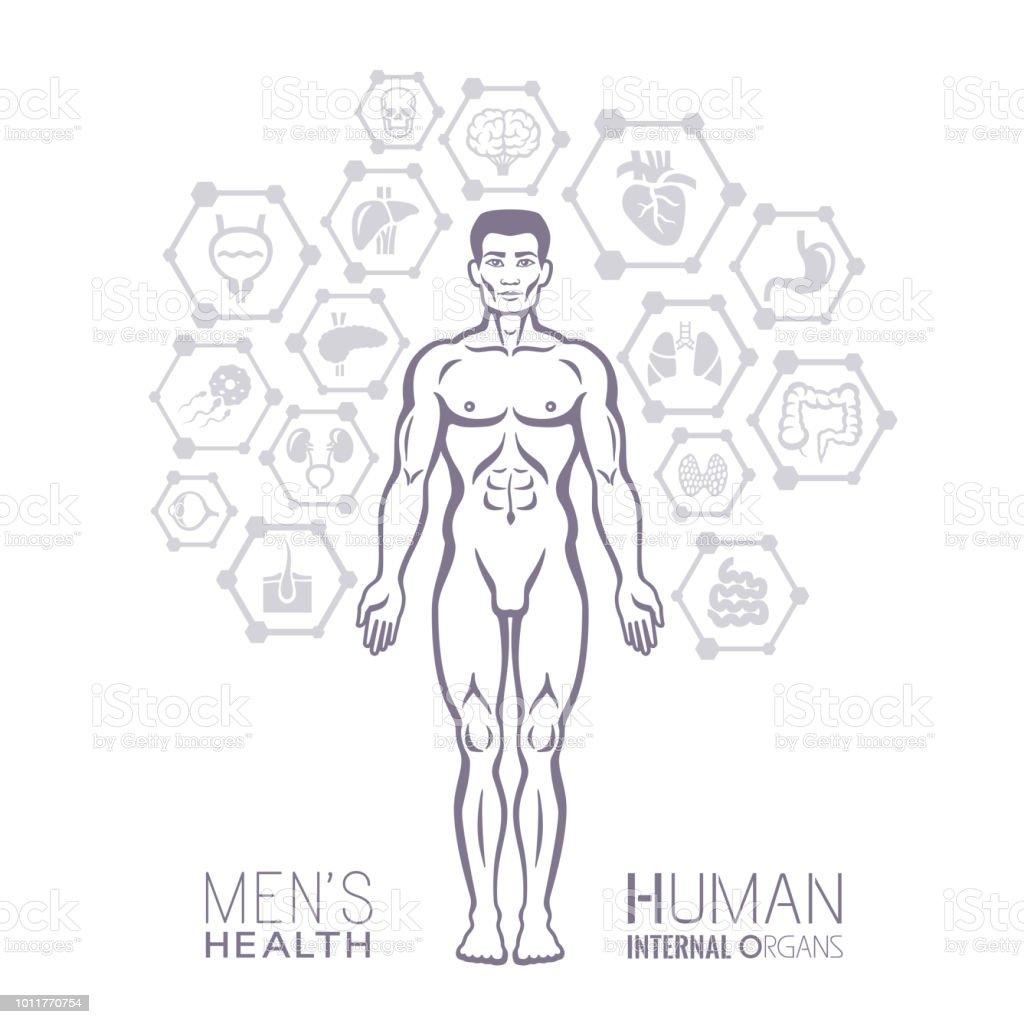 Ilustración de Anatomía Humana Cuerpo Masculino y más banco de ...