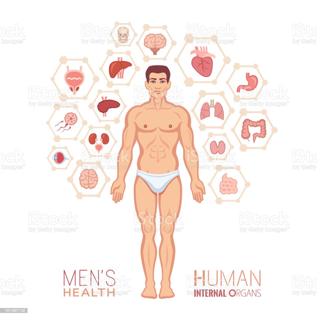 Human anatomy. Male body with internal organs vector art illustration