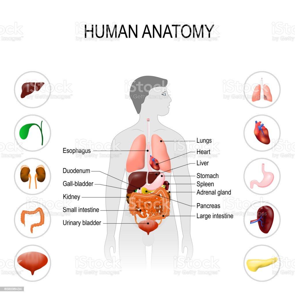 Ilustración de Anatomía Humana Cartel De Médico y más banco de ...
