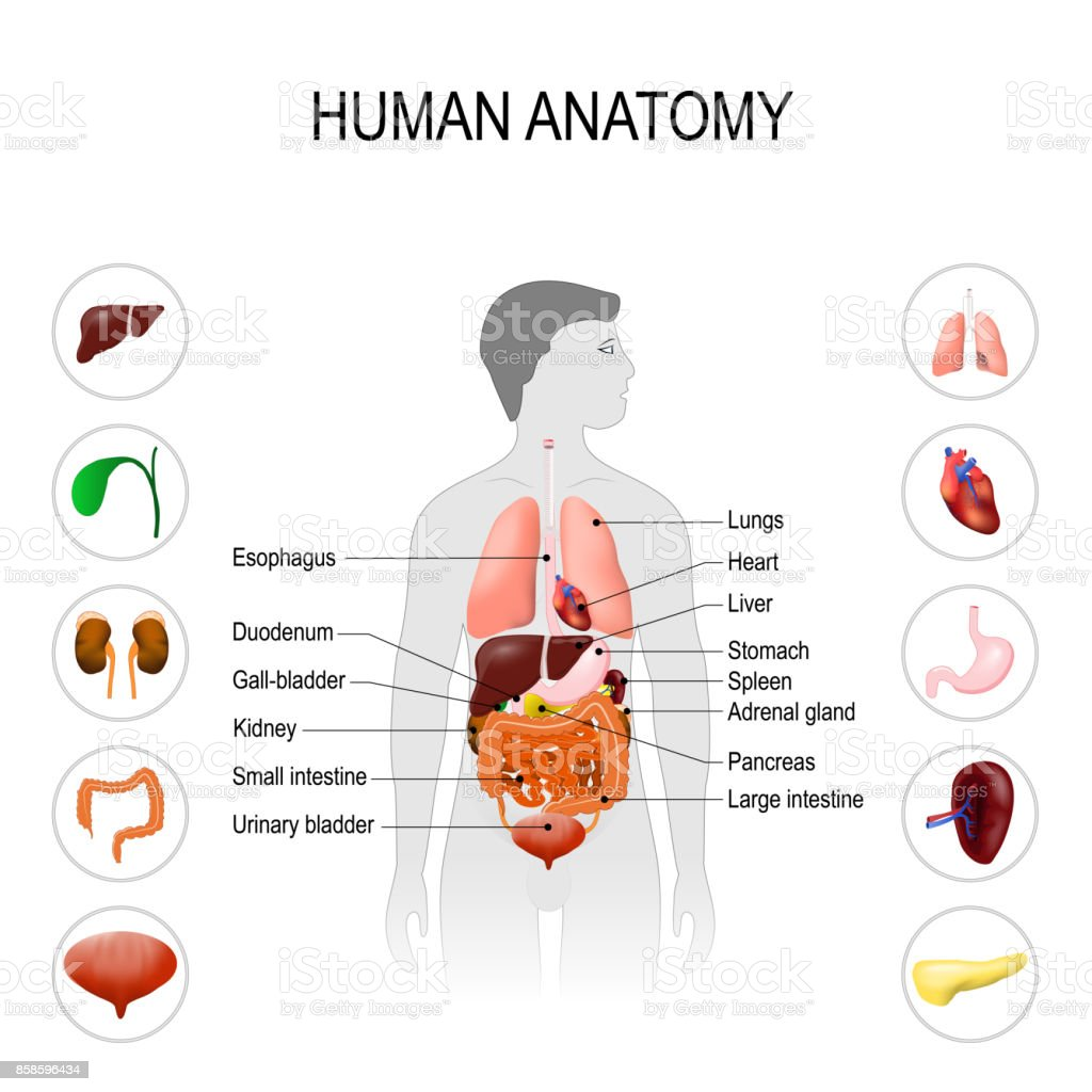human anatomy. Medical poster vector art illustration