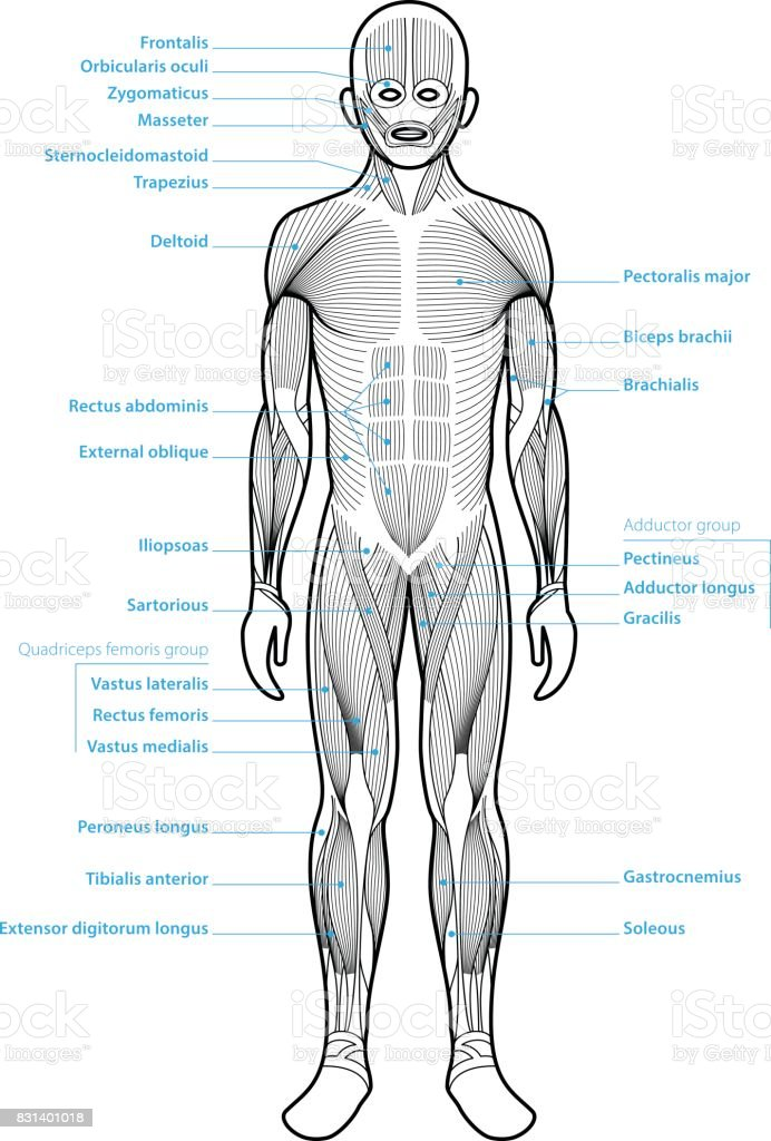Menschliche Anatomie Muskelgruppen Stock Vektor Art und mehr Bilder ...