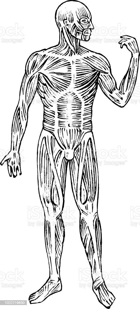 Anatomie Des Menschen Muskel Und Knochensystem Männlichen Körper ...