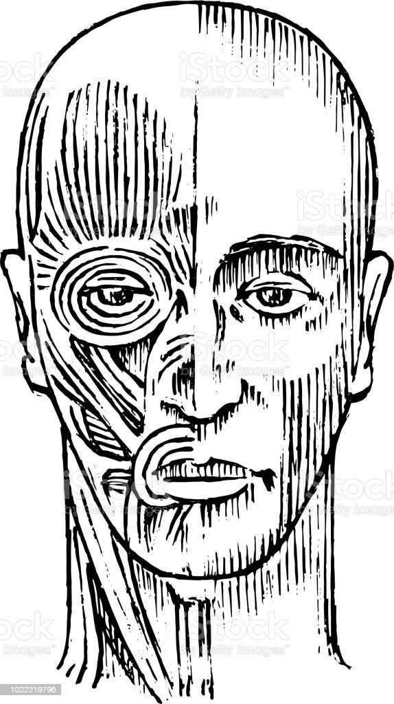 Ilustración de Anatomía Humana Sistema Muscular Y óseo De La Cabeza ...