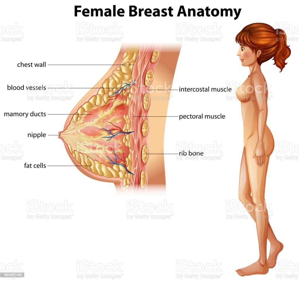 Human Anatomy of Female Breast - Illustration .