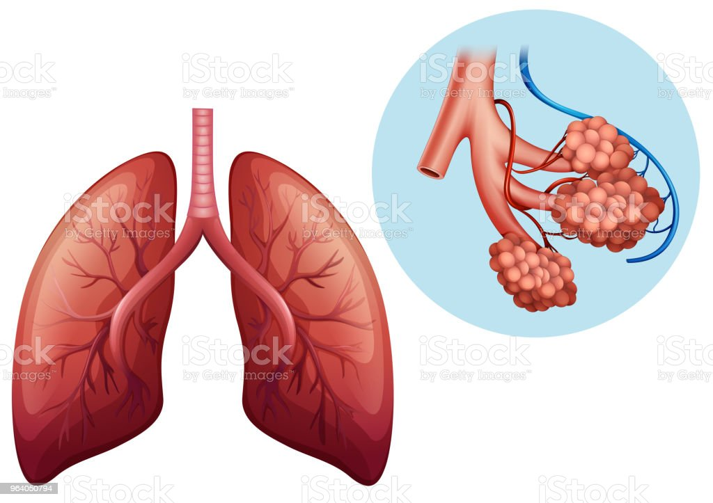 Human Anatomy Of Human Lung Stock Vector Art More Images Of