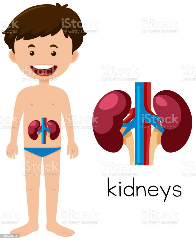 A Human Anatomy Of Kidneys Stock Vector Art More Images Of Anatomy