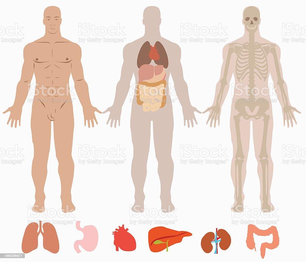 Menschliche Anatomie Des Mann Hintergrund Stock Vektor Art und mehr ...