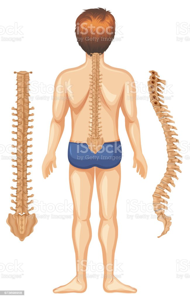 Human Anatomy Of Spine On White Background Stock Vector Art & More ...