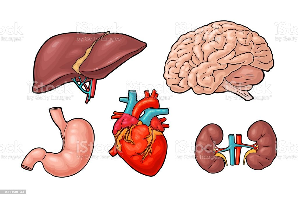 Human Anatomy Organs Brain Kidney Heart Liver Stomach Vector