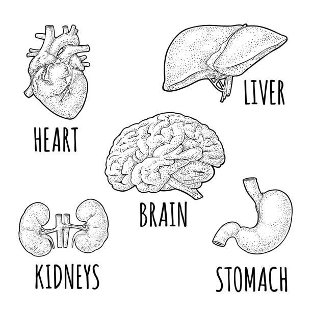 Top 60 Human Heart Sketch Clip Art, Vector Graphics and ...