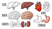 Human anatomy organs. Brain, kidney, heart, liver, stomach. Vector engraving