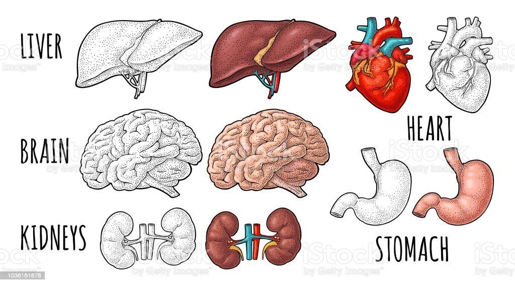 Human anatomy organs. Brain, kidney, heart, liver, stomach. Vector engraving - illustrazione arte vettoriale