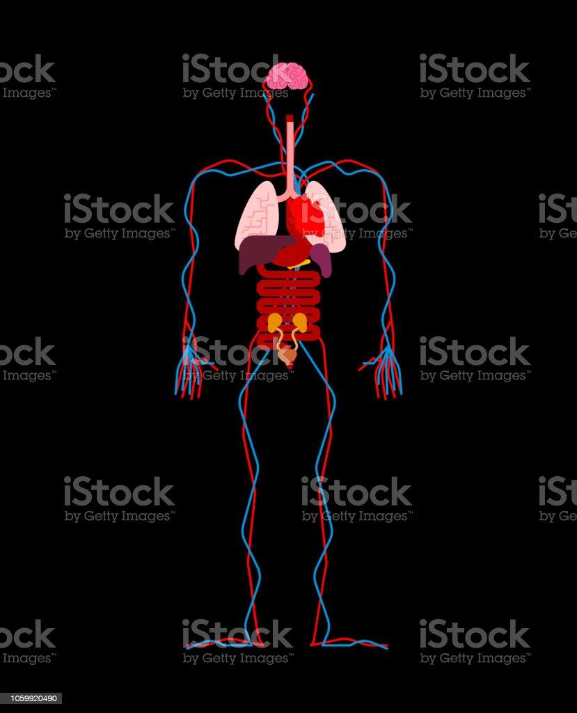 Human Anatomy Organs Internal Systems Of Man Body And Organs Medical