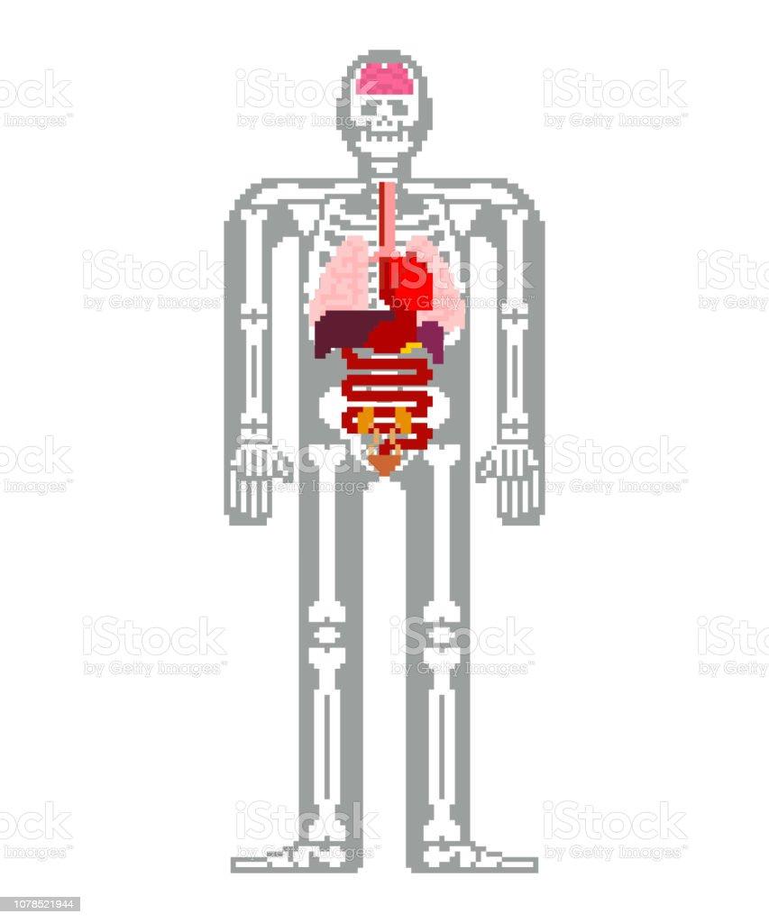 人間の解剖学のピクセル アート。8 ビット内臓と骨格。ピクセレート 16 ビット。古いゲーム コンピューター グラフィック スタイル ベクターアートイラスト