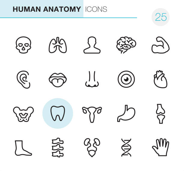 Human Anatomy - Pixel Perfect icons 20 Outline Style - Black line - Pixel Perfect Anatomy icons / Set #25 uterus stock illustrations