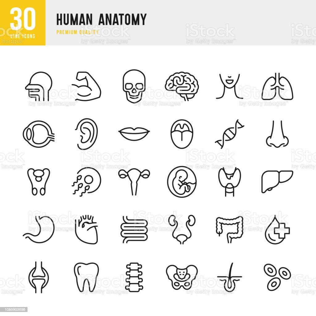 Human Anatomy - set of line vector icons - Векторная графика Анатомия роялти-фри