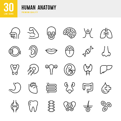 Set of 30 Human body anatomy line vector icons. Head, Skull, Brain, Heart, Liver, Eye, Stomach, Lungs, Spine, Lips, Ear, Nose and so on