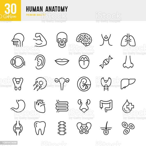 Human Anatomy Set Of Line Vector Icons — стоковая векторная графика и другие изображения на тему Анатомия