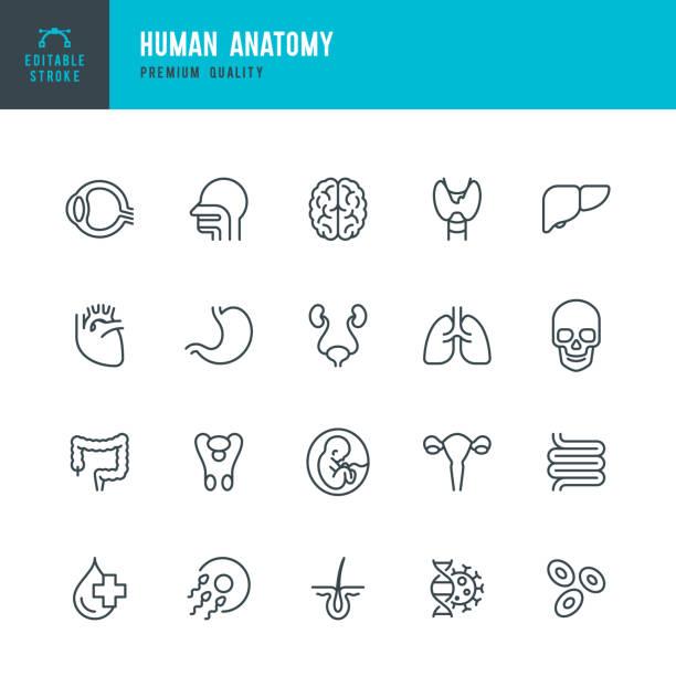 stockillustraties, clipart, cartoons en iconen met menselijke anatomie-set van lijn vector iconen - longen