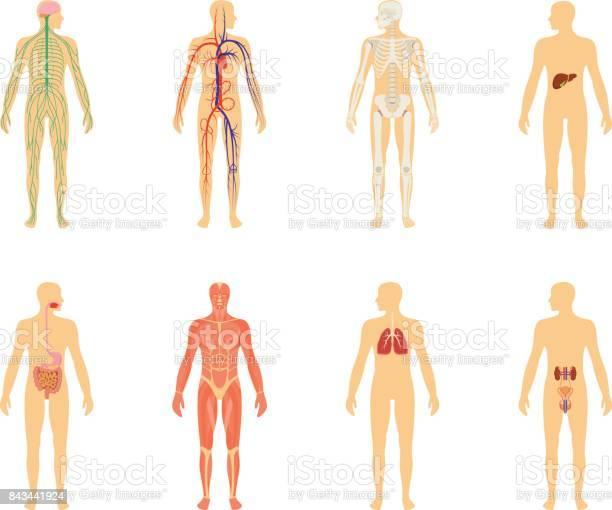Human anatomy set of vector illustration isolated on white background vector id843441924?b=1&k=6&m=843441924&s=612x612&h=cbnp35ufbpjwjedvhjkbrc3tcdbwgrjzw3czsf8mdrc=
