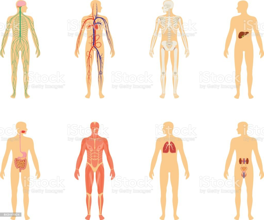 Human anatomy. Set of vector illustration isolated on white background. Human body structure: skeleton and circulatory vascular system. vector art illustration