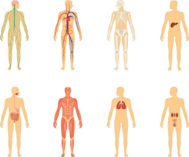 Human anatomy. Set of vector illustration isolated on white background. Human body structure: skeleton and circulatory vascular system. Human anatomy. Set of vector illustration isolated on white background. Human body structure: skeleton and circulatory vascular system. human representation stock illustrations