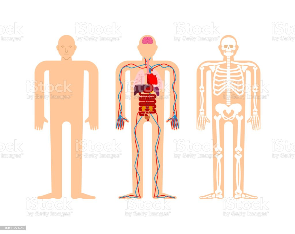 Human Anatomy Skeleton And Internal Organs Systems Of Man Body And