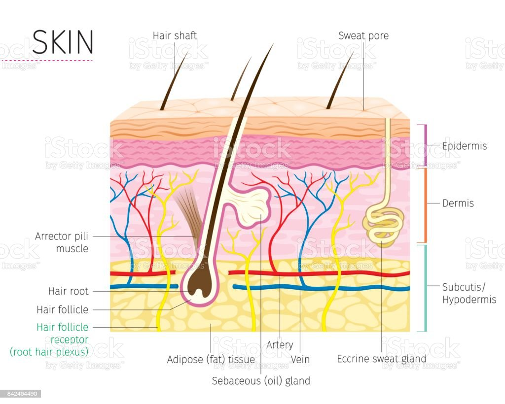Human Anatomy, Skin And Hair Diagram vector art illustration