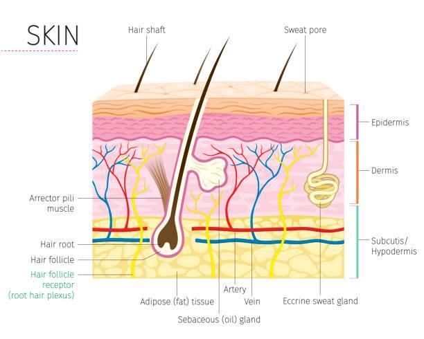 stockillustraties, clipart, cartoons en iconen met menselijke anatomie, huid en haren diagram - menselijke huid