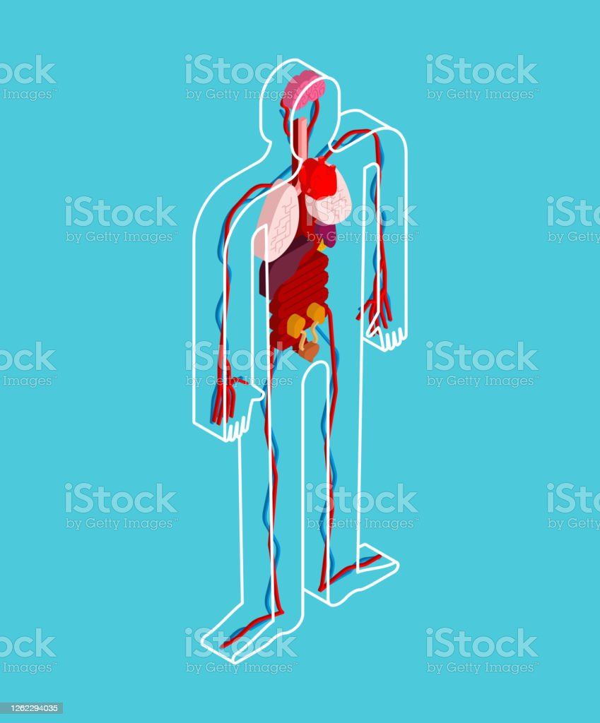 human anatomy transparent body and internal organs vector illustration stock illustration download image now istock https www istockphoto com vector human anatomy transparent body and internal organs vector illustration gm1262294035 369348597