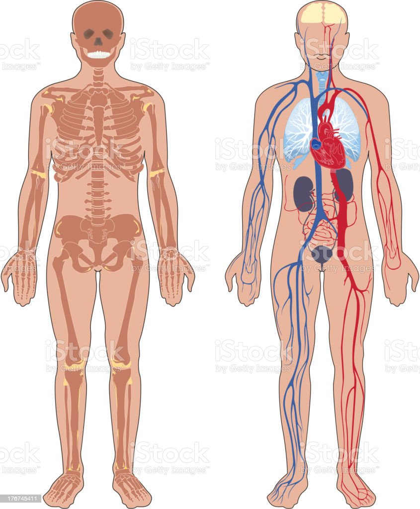 Human anatomy. royalty-free stock vector art