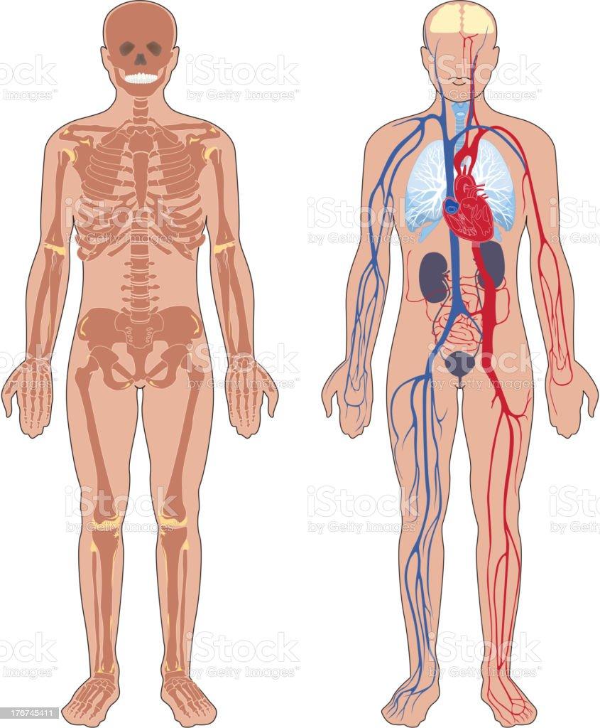 Human anatomy. vector art illustration