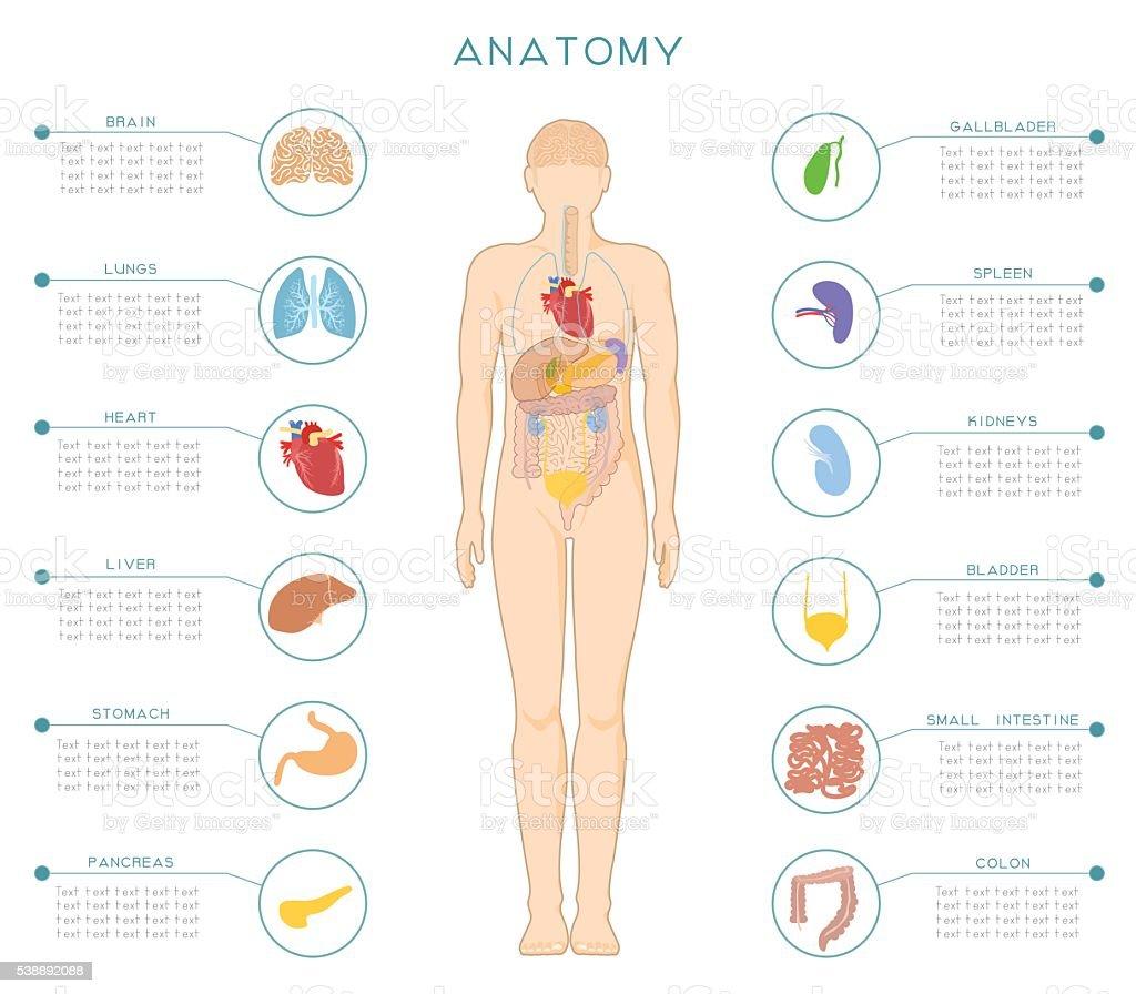 Anatomía Humana - Arte vectorial de stock y más imágenes de Abdomen ...
