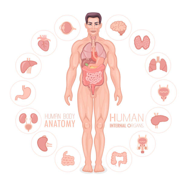 Human anatomy vector. Male body. vector art illustration