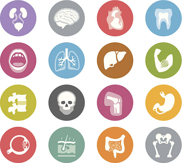 Human Anatomy / Wheelico icons vector art illustration