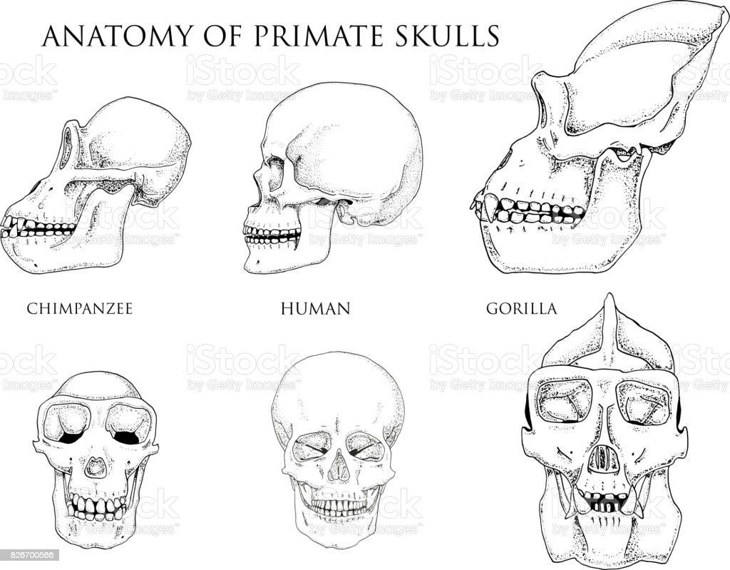 Ilustración de Humanos Y El Chimpancé El Gorila Ilustración De ...