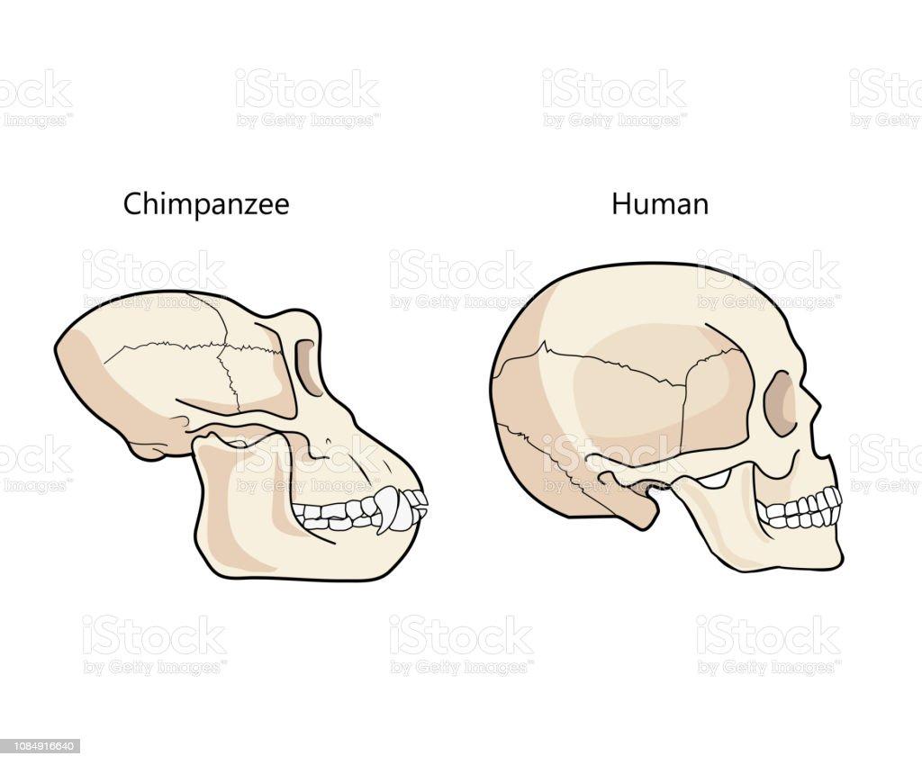 Human And Chimpanzee Skull Biology And Anatomy Vector Illustration. vector art illustration