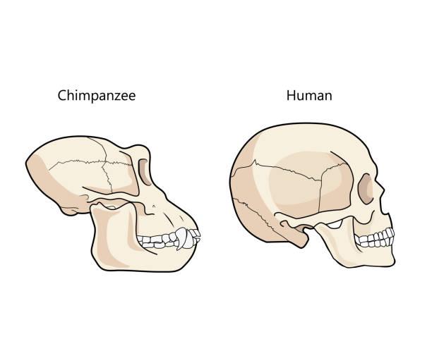 Humano y chimpancé cráneo biología y anatomía ilustración del Vector. - ilustración de arte vectorial